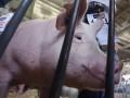 Вспышку чумы у свиней зафиксировали сразу в двух областях