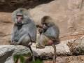 В Одессе из зоопарка сбежали гамадрилы