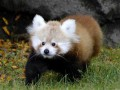 Животные недели: ленивая панда, гордый носорог и дружелюбные лемуры