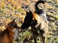 Сказочная дружба собаки с лисой (ФОТО)