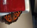 В Киеве началось нашествие бабочек: сбивают с ног
