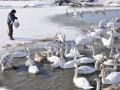 На Буковине спасают почти 180 лебедей, попавших в ледовый плен