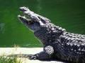 Пятнадцать тысяч крокодилов сбежали с фермы