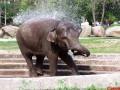 Как слон купается в киевском зоопарке