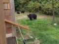 Канадец вежливо уговорил медведей покинуть его двор