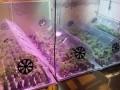 На Киевщине изъяли сотни вазонов конопли