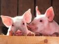 Украина скупает свинину в Польше – Госстат