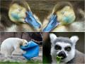 Животные недели: Подушка для мишки, спящие утята и лемур-обжора