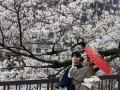 В Японии рекордно рано зацвела сакура