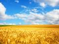 Хлебное место: Египет отказывается от поставок украинской пшеницы