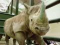В Европе участились случаи краж рогов носорога