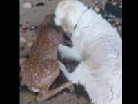 В США собака спасла тонущего олененка
