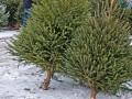 Известен размер штрафов за незаконно спиленные елки перед Новым годом