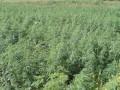 В Киеве нашли огромное поле конопли (фото)