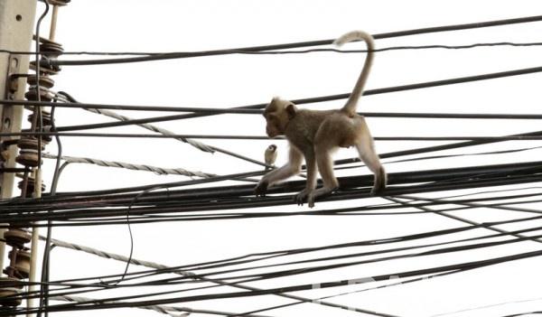 В Кении обезьяна упала на трансформатор