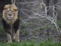 В Германии из зоопарка сбежали два льва, ягуар, два тигра и медведь