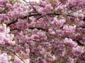 Несмотря на рекордные морозы, в Японии зацвела сакура