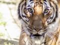На юге Индии из-за тигра-людоеда закрыли школы