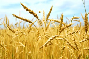 Украина в этом году соберет меньше урожая — эксперты