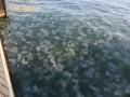 На курорте в Кирилловке наблюдается нашествие медуз