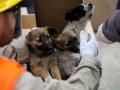 Первые щенки из Чернобыля нашли свои дома в США
