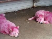 В России нашли собак, покрашенных в розовый цвет