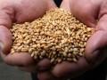 В Украине собрали более 55 млн тонн зерна