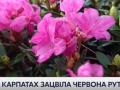 В Карпатах началось массовое цветение червоной руты