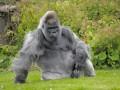 В британском зоопарке умерла одна из старейших горилл мира