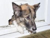 В Британии овчарка прогрызла щель в двери и застряла в ней