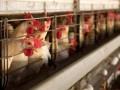 Причиной неприятного запаха в Запорожье стала птицефабрика