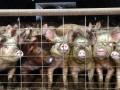 На Черниговщине ввели карантин из-за африканской чумы свиней