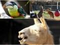 Животные недели: очаровательная лама, игривые кенгуру и  безмятежный тукан Карл