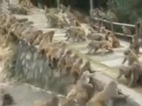 Стена на стену: Массовую драку обезьян сняли на видео