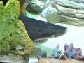 Многострадальной акуле из Океан Плазы нашли замену