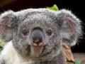 Коал объявили функционально вымершими животными