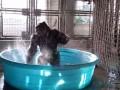 Зажигательный танец гориллы покорил пользователей Сети