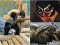 Животные недели: младенец гигантского муравьеда, гибкая панда и кровожадная сова