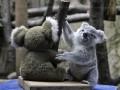 Двойная няшность: малыш коалы играет со своим двойником (ФОТО)