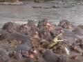 Сражение крокодила со стадом бегемотов сняли на видео