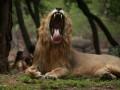 В Зимбабве на занимавшуюся сексом в лесу пару напал лев