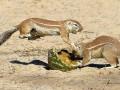 Кунг-фу суслик: животные дерутся за арбуз (ФОТО)