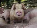 В Мексике свинья убила фермера во время драки