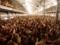 Украина более чем в 2 раза нарастила экспорт курятины, на треть сократив ее импорт