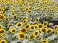 Аграрии жалуются на умышленное занижение цен на подсолнечник