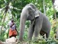 В Индии умерла самая старая слониха в мире