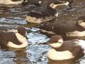 В Нидерландах по неизвестным причинам погибли 20 000 птиц