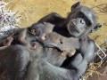 Животные недели: солнечные ванны шимпанзе и одноглазый лев