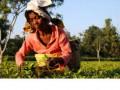 Работники чайной плантации в Индии сожгли своего босса