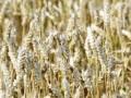Украина займет седьмое место в мире по объему экспорта зерна - аграрии